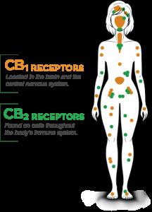 endocannabinoid system receptors