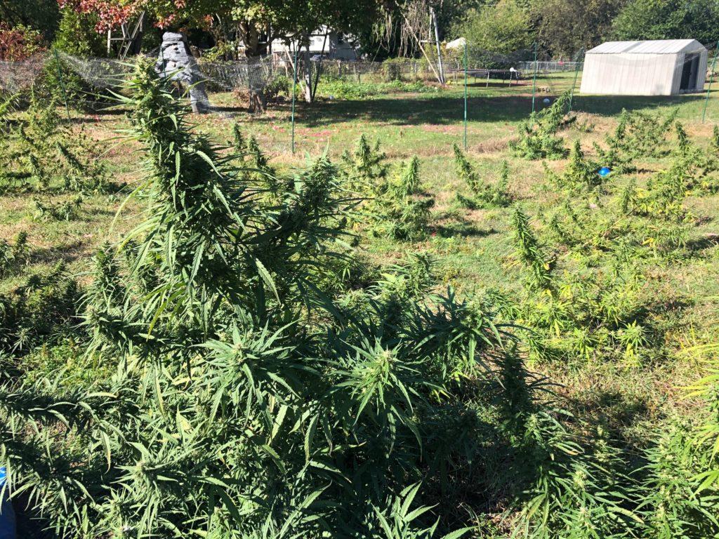 backyard hemp farm